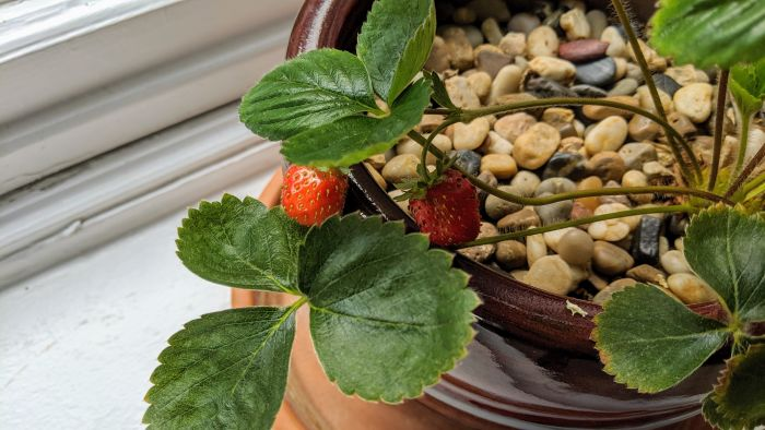 Strawberry plant with ripe strawberries